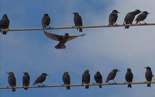 Почему птиц не бьет током на проводах — объясняем просто и понятно